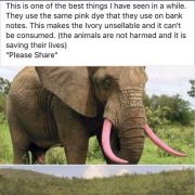Save the wild elephants paint the tusks pink!